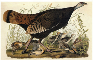 Audubon Turkey